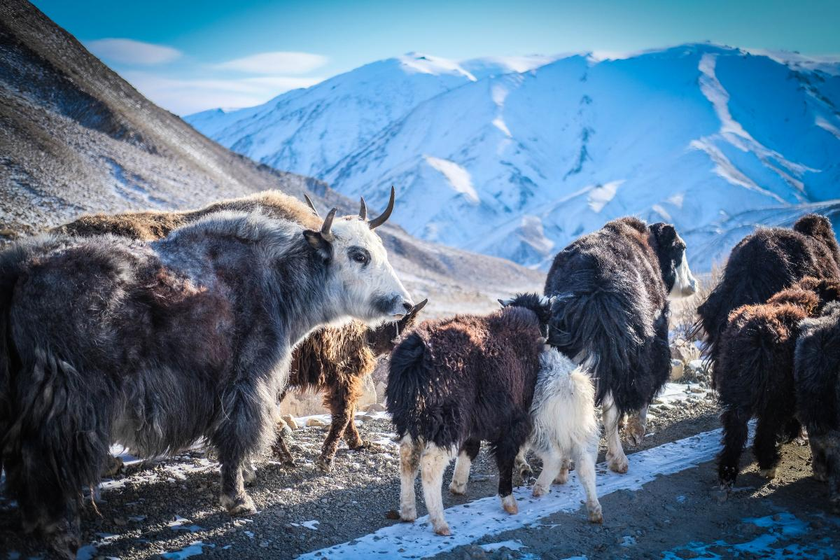 A herd of Yaks on the Altai mountain pass, near the border of Kazakhstan and Russia